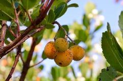 Árvore do unedo do Arbutus com frutos imagem de stock