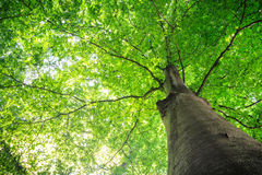 Árvore do verão com folhas verdes Imagem de Stock Royalty Free