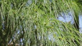 Árvore do verde de Palo - árvore do parkinsonia filme