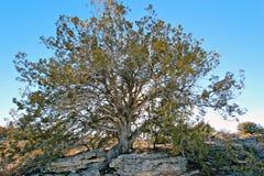 Árvore do zimbro foto de stock royalty free