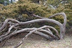 Árvore do zimbro de Savin Fotografia de Stock Royalty Free