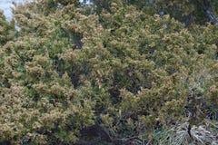 Árvore do zimbro de Savin Imagens de Stock