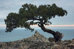 Árvore do zimbro na rocha em Crimeia fotos de stock