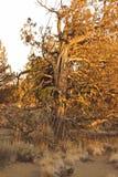 Árvore do zimbro no fim da tarde imagem de stock