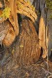 Árvore do zimbro no fim da tarde imagens de stock royalty free