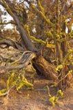 Árvore do zimbro no fim da tarde fotos de stock