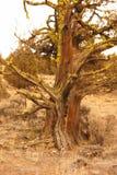 Árvore do zimbro no fim da tarde fotos de stock royalty free