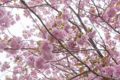 Árvore dobro de florescência da flor de cerejeira Imagens de Stock