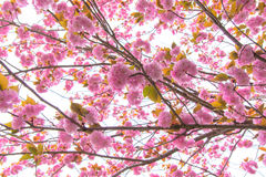 Árvore dobro de florescência da flor de cerejeira Fotografia de Stock Royalty Free