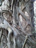 Árvore dois Fotografia de Stock Royalty Free