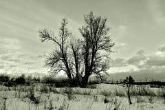 Árvore dormente no campo nevado do inverno Imagem de Stock