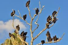 Árvore dos abutres Fotografia de Stock Royalty Free