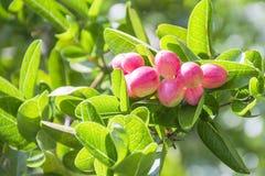Árvore dos Bengal-corintos imagem de stock royalty free
