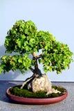 Árvore dos bonsais Foto de Stock