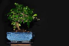 Árvore dos bonsais Foto de Stock Royalty Free