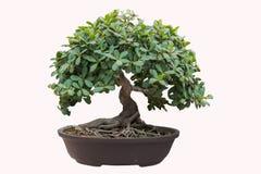 Árvore dos bonsais Fotos de Stock Royalty Free