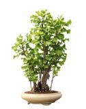 Árvore dos bonsais de Biloba Maidenhair da nogueira-do-Japão foto de stock