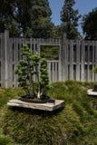 Árvore dos bonsais do zimbro Fotografia de Stock
