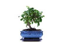 Árvore dos bonsais em um potenciômetro azul Fotografia de Stock