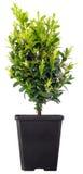 Árvore dos bonsais em um potenciômetro plástico em um branco Fotografia de Stock