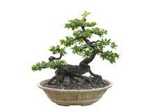 Árvore dos bonsais isolada no fundo branco Seu arbusto é crescido em um potenciômetro ou em uma árvore decorativa no jardim imagem de stock royalty free
