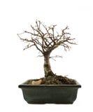 Árvore dos bonsais sem folhas Fotos de Stock Royalty Free