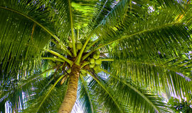 Árvore dos Cocos de abaixo olhado Imagem de Stock