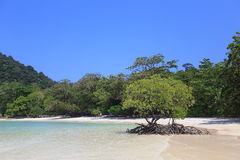 Árvore dos manguezais foto de stock royalty free