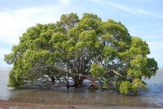 Árvore dos manguezais da praia de Nudgee Foto de Stock
