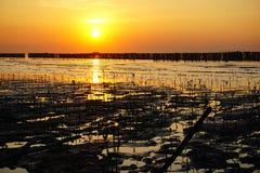 Árvore dos manguezais do rebento durante o por do sol Imagem de Stock