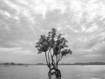 Árvore dos manguezais no mar imagens de stock