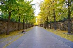Árvore dourada da nogueira-do-Japão ao longo da estrada imagem de stock