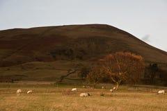 Árvore dourada do outono contra o grande monte com os carneiros que pastam Fotografia de Stock