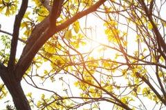 Árvore dourada, pui amarelo Imagem de Stock Royalty Free