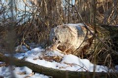 Árvore dystroyed pelo castor Imagem de Stock