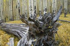Árvore e álamos tremedores quaking desarraigados, Flagstaff, o Arizona Imagens de Stock Royalty Free