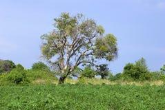 Árvore e árvore da mandioca Fotografia de Stock