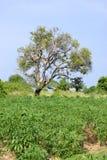 Árvore e árvore da mandioca Imagem de Stock Royalty Free