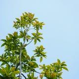 Árvore e céu azul Fotos de Stock