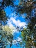 Árvore e céu azul na floresta Fotos de Stock