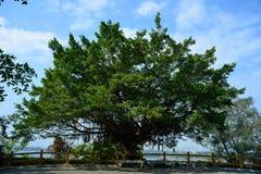 Árvore e céu grandes de banyan fotos de stock royalty free