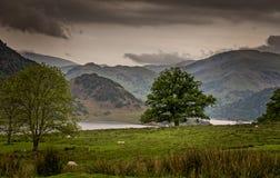 Árvore e carneiros solitários na paisagem larga do distrito do lago Imagem de Stock Royalty Free