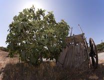 Árvore e carro de figo Imagem de Stock