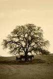 Árvore e cavalos desencapados de carvalho no inverno Fotos de Stock