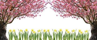 Árvore e daffodils de cereja fotografia de stock
