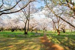 Árvore e flores de trombeta rosado Pode ser chamado o ` cor-de-rosa do ` do rosea de Tabebuia do ` ou do poui do ` As flores são  Fotografia de Stock Royalty Free