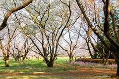 Árvore e flores de trombeta rosado Pode ser chamado o ` cor-de-rosa do ` do rosea de Tabebuia do ` ou do poui do ` As flores são  Imagem de Stock Royalty Free
