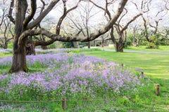 Árvore e flores de trombeta rosado Pode ser chamado o ` cor-de-rosa do ` do rosea de Tabebuia do ` ou do poui do ` As flores são  Foto de Stock