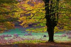 Árvore e floresta de faia no parque Urbasa-Andia. fotos de stock royalty free