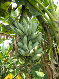 Árvore e frutos de banana Imagens de Stock Royalty Free